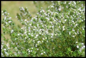 24573436-thyme-flower