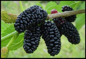 mulberries-1