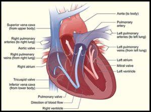 heart_interior